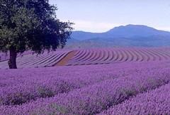 Венцоне - лавандовый рай!