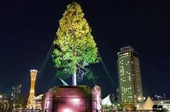 Самая высокая в мире ель установлена в Японии!